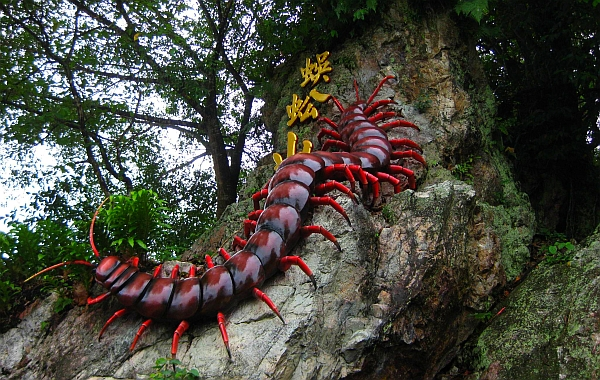 Giant centipede eating bat