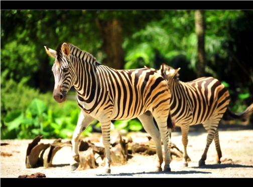 Taiping Zoo and Night Safari 1